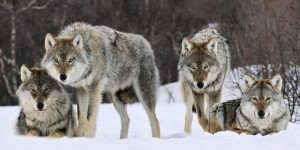 Working with lone wolves